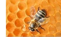 Bush Bee